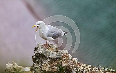 Europésillfiskmåsen på de Etretat klipporna