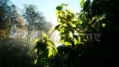 Evaporation of the bushes in the morning, the leaves glow in the sun. Steam on a tree. Rays at dawn stock video footage