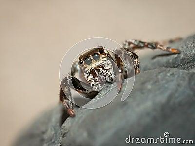 Evarcha Jucunda jumping spider
