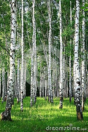 Evening beautiful birch grove in summer