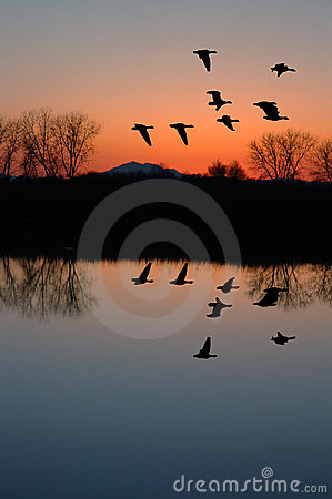 Free Evening Geese Stock Photography - 3165382