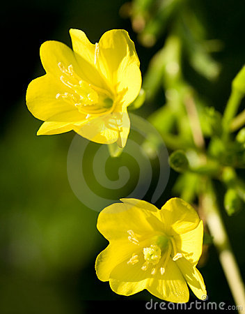 Free Evening Primrose Royalty Free Stock Photo - 6467465