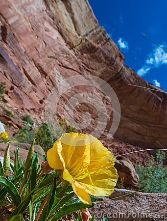 Free Evening Primrose Flower In Capitol Reef National Park Stock Images - 57161144