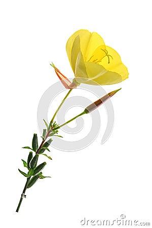 Free Evening Primrose (Oenothera) Stock Image - 43640891