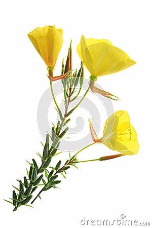 Free Evening Primrose (Oenothera) Royalty Free Stock Photos - 43640908
