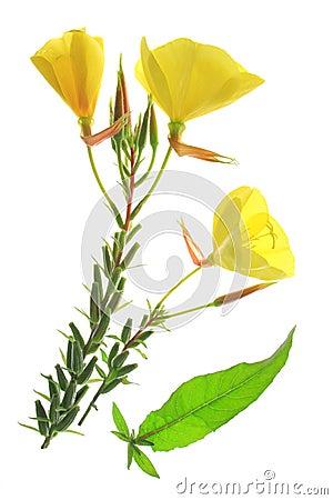 Free Evening Primrose (Oenothera) Royalty Free Stock Image - 43640926