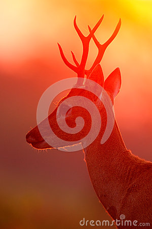 Free Evening Sun, Magic Scene With Deer, Pampas Deer, Ozotoceros Bezoarticus, Sitting In The Green Grass, Evening Sun, Animal In The Na Royalty Free Stock Image - 70951606