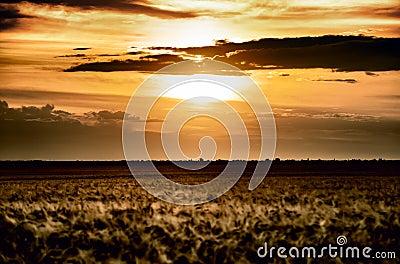 Evening wheat field. summer landscape