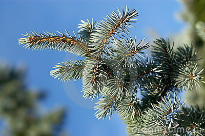 Evergreen branches and  pins