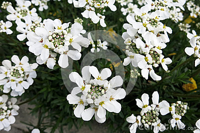 Evergreen candytuft or Perennial candytuft (Iberis sempervirens)