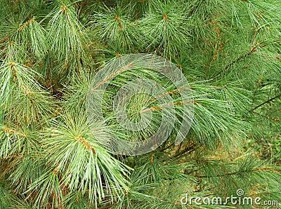 Evergreen Cedar Close-Up