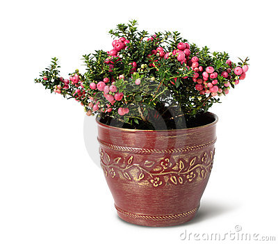 Evergreen Christmas arrangement in pot