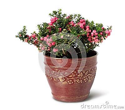 Evergreen Christmas arrangement in pot