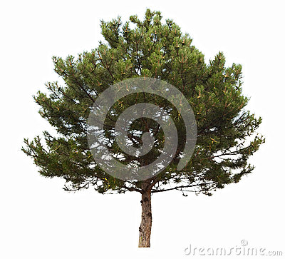 Evergreen coniferous tree