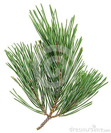 Evergreen pine twig isolated on white