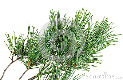 Evergreen pine twig on white