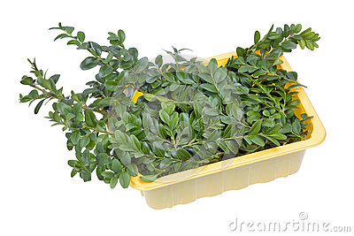 Evergreen plant Boxwood branches