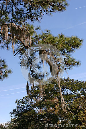 Evergreen with Spanish Moss