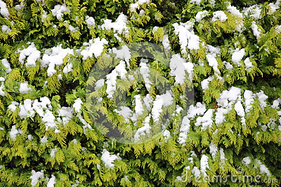Evergreen thuja hegde background in winter with snow
