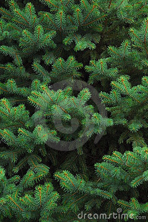 Free Evergreen Tree Stock Photos - 1421713