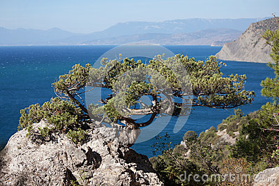Evergreen tree grows at high altitude on the rock