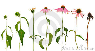 Evolution of Echinacea purpurea  flower  isolated
