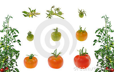 Evolution of red tomato isolated