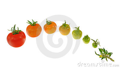 Evolution of red tomato isolated on white