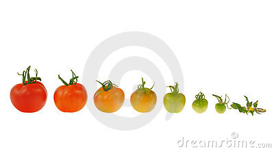 Evolution of red tomato isolated on white backgrou