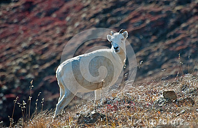 Ewe Dall Sheep