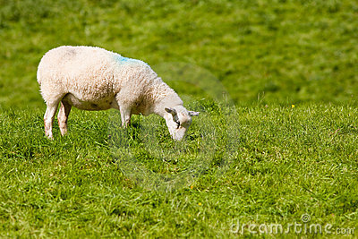 Ewe Grazing on Vibrant Rolling Summer Grass