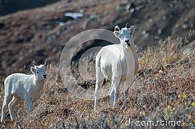 Ewe and Lamb Dall Sheep