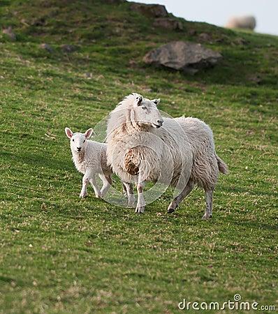 Ewe & Lamb (Ovis aries)