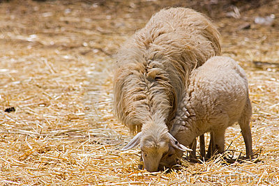 Ewe sheep and lamb
