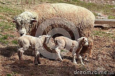Ewe sheep with lambs