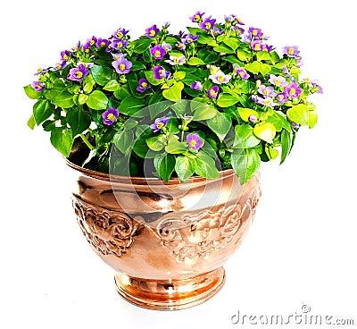 Free Exacum Flower In Copper Vase Stock Photo - 20728590