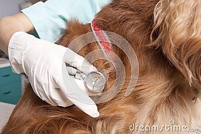 Examining the dog
