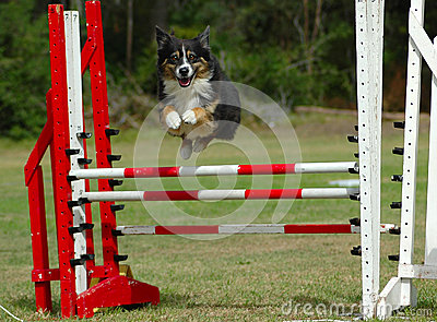 Excited agility dog jumping