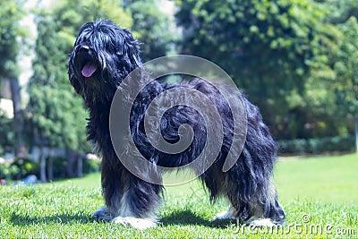 Exhibition dog