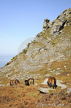 Exmoor ponies Linton