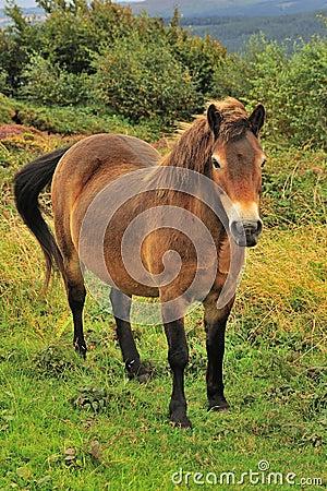 Exmoor Pony (Equus ferus caballus)