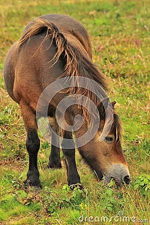 Exmoor Pony grazing (Equus ferus caballus)