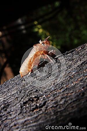 Exoskeleton of a Cicada - Pomponia imperatoria