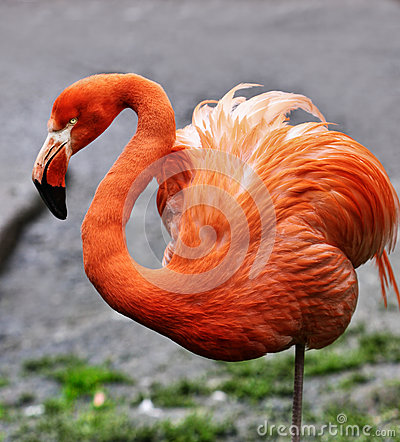 Exotic Bird Flamingo