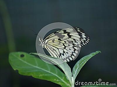 Exotic butterflies of Thailand, island Phuket 3