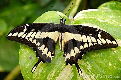 An exotic butterfly.
