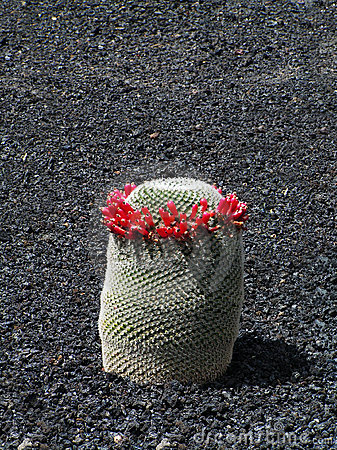Exotic cactus with the garland of red flowers