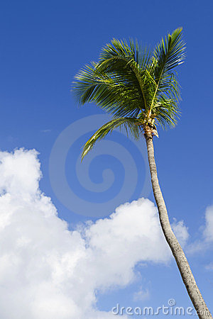 Exotic coconut palm tree