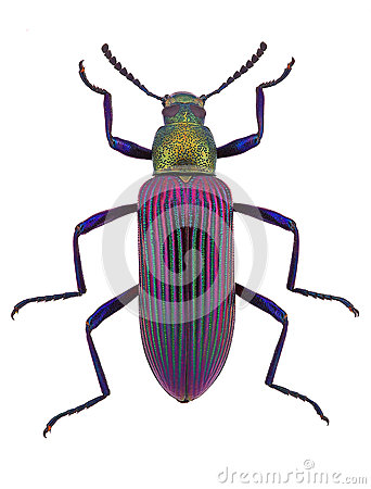 Exotic darkling beetle from Madagscar