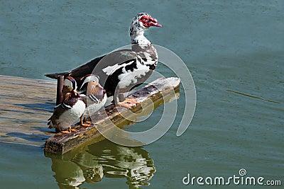 Exotic ducks on the riverside
